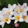 Plumeria flowers — Stock Photo #13597356