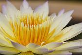 Närbild lotusblomma — Stockfoto