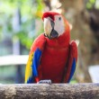 Scarlet macaw — Stock Photo #18514613