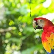 Scarlet macaw — Stock Photo #18514793