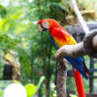 Scarlet macaw — Photo #18516019