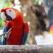 Scarlet macaw — Photo #18516329