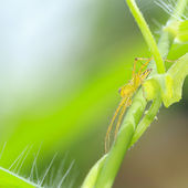 Yellow jumper spider on green leaf — Stock Photo