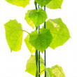 Green ivy isolated on white background — Stock Photo