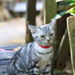 Stock Photo: AmericShorthair cat