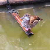 Lesser whistling duck, — Stock Photo