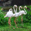 Greater Flamingo (Phoenicopterus roseus) — Stock Photo