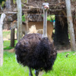 Stock Photo: Ostrich emu