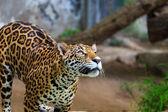 Jaguar panthera onca — Stock Photo