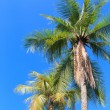 Stock Photo: Coconut palm on blue sky