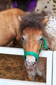 Dwarf horse. — Stock Photo