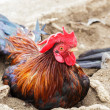 Rooster — Stock Photo #30780751