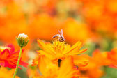Honey bee collecting nectar from flower in the summer time. — Stock Photo