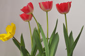 Rode tulip — Stockfoto