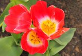 Red tulip — Stockfoto