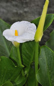 White calla — Foto de Stock