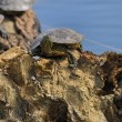 Stock Photo: Aquatic turtles