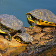Aquatic turtles — Stock Photo