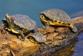 водные черепахи — Стоковое фото