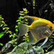 Stock Photo: Angel fish in home aquarium