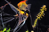 Angel fish in home aquarium — Stock Photo