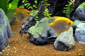 Angel fish in home aquarium — Foto de Stock