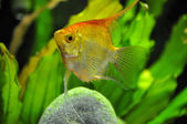 Angel fish in home aquarium — Stock Photo