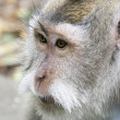 Closeup of a wild monkey — ストック写真