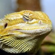 Stock Photo: Australian bearded lizard