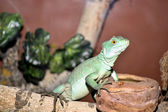 Exotic lizard — Stock Photo