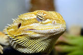Australian bearded lizard — Stock Photo