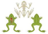 Amphibian anatomy — Stock Vector