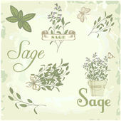 Sage, salvia, clary sage, herb, plant background, packaging calligraphy — Stock Vector