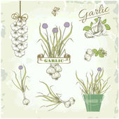 Garlic vegetables, herb, plant, cusine vintage background, packaging product — Stock Vector
