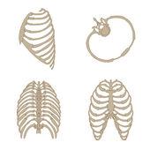 Ribs bone anatomy — Stock Vector