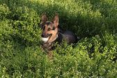 German shepherd in a grass — Stock Photo