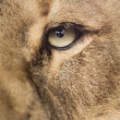 Lioness up close — Stock Photo