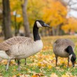 Canadian geese in the park. November 3'rd — Stock Photo
