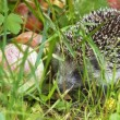 Little hedgehog — Foto Stock #12652104