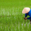 Stock Photo: Vietnam: planting rice in empty patches of paddy.
