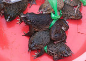 Vietnam Dong Hoi - thick fat living frogs for sale at market. — Stock Photo
