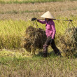 Woman in pink shirt carries two heaps of rice straw on shoulder — Stock Photo #26108073