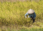 One farmer mows with sickle ripe rice stalks in the field. — Stock Photo