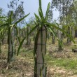 Field of young dragon fruit plants lead on concrete poles. — Stock Photo #28501665