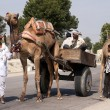 Rajasthan in India - February 2011 - Typical transport with a camel in Rajasthan. — Stock Photo