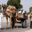 图库照片: Rajasthin Indi- February 2011 - Typical transport with camel in Rajasthan.