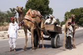 Rajasthan in India - February 2011 - Typical transport with a camel in Rajasthan. — Foto de Stock