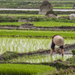 Stock Photo: Single woman planting rice in paddy.