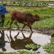 Farmer walks his ox in rice paddies and gets nice reflection. — Stock Photo #38882391