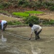 Stock Photo: Manually leveling mud in rice paddy with help of boom.